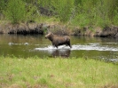 Elchkuh im Fluss