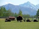 Moschusochsen Farm