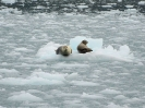 Seehunde auf einer Eisscholle