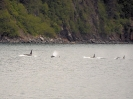 Orca-Familie