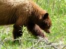 Grizzlie (Banff NP)