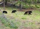 Bärenfamilie am Two Jack Lake