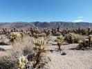 Cholla Kaktus Garten
