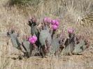 blühende Kaktusfeige