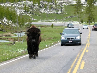 Bison im Yellowstone