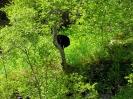 kletternder Schwarzbär