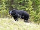 Schwarzbär (Banff NP)